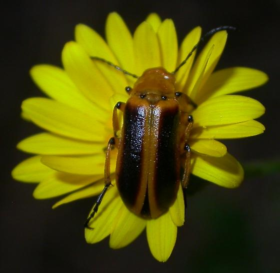 Nemognatha #4 - Nemognatha punctulata