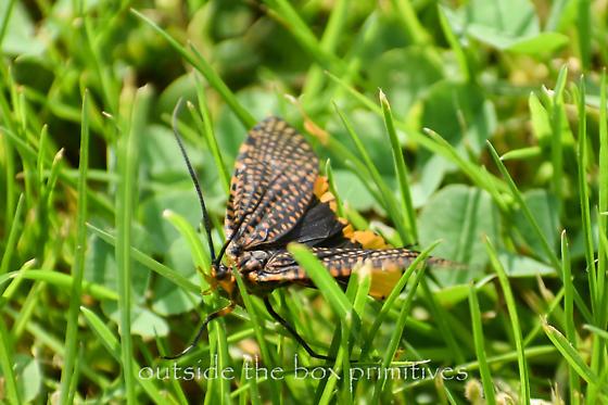 caddisfly  - Oligostomis pardalis