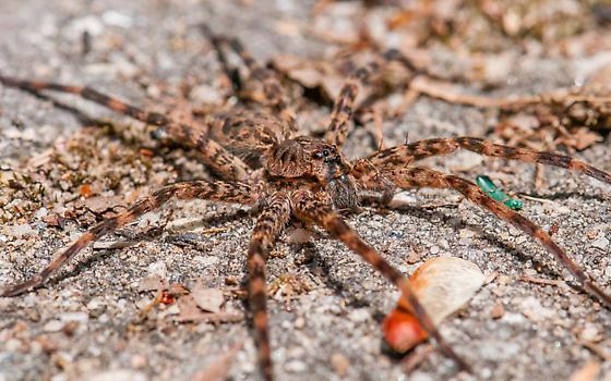 N. Georgia large spider - Dolomedes tenebrosus