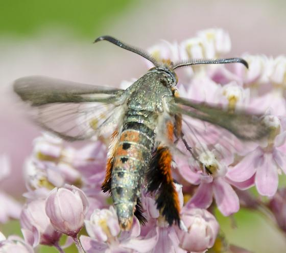 clearwing - Melittia cucurbitae