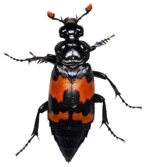 Male, Nicrophorus mexicanus? - Nicrophorus