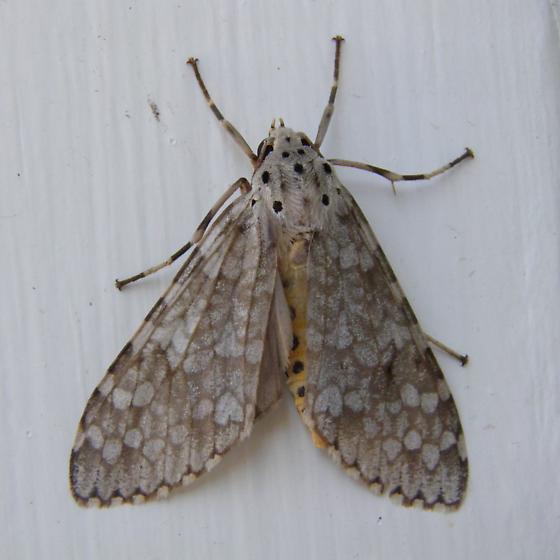 moth - Carales arizonensis