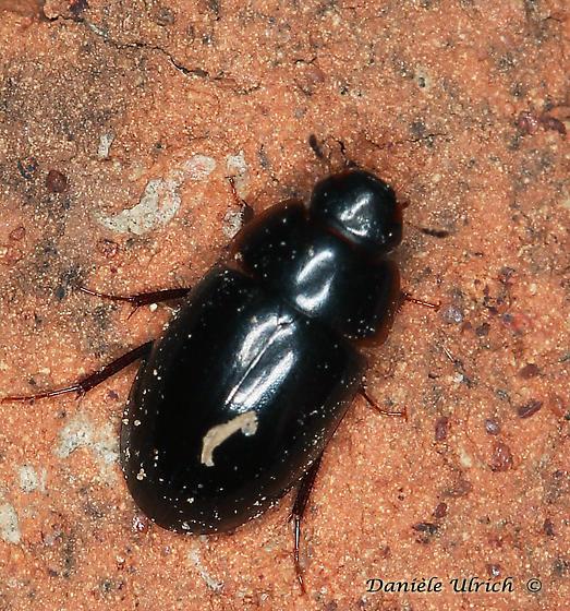 Coleoptera ?