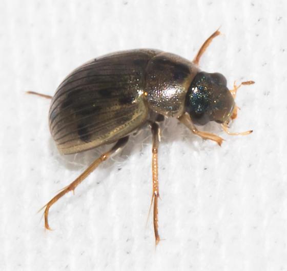 2018-07-28 Spotted water beetle - Berosus