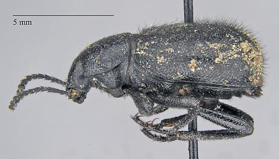 Tenebrionidae: Eleodes hirsuta - Eleodes hirsuta