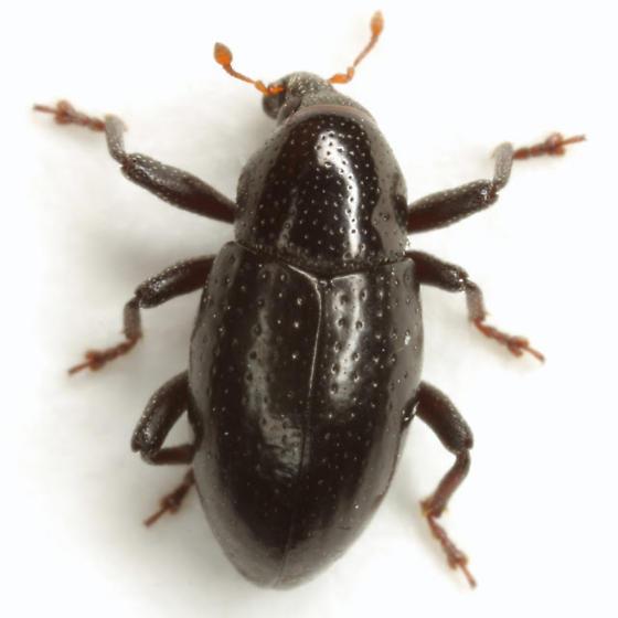 Tyloderma baridium LeConte - Tyloderma baridium