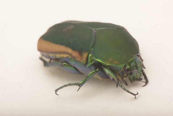 Figeater beetle, Cotinis mutabilis? - Cotinis mutabilis