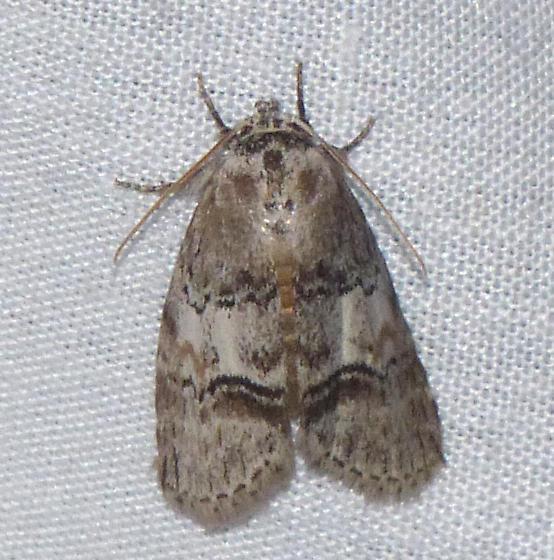 Cephalospargata elongata - Cephalospargeta elongata