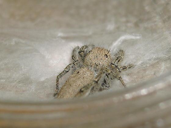 Aggressive girl - Phidippus octopunctatus - female
