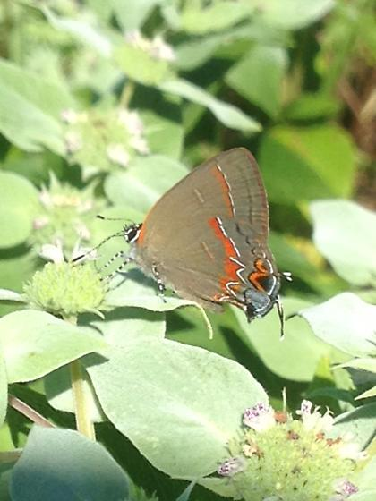 Butterfly 4 - Calycopis cecrops