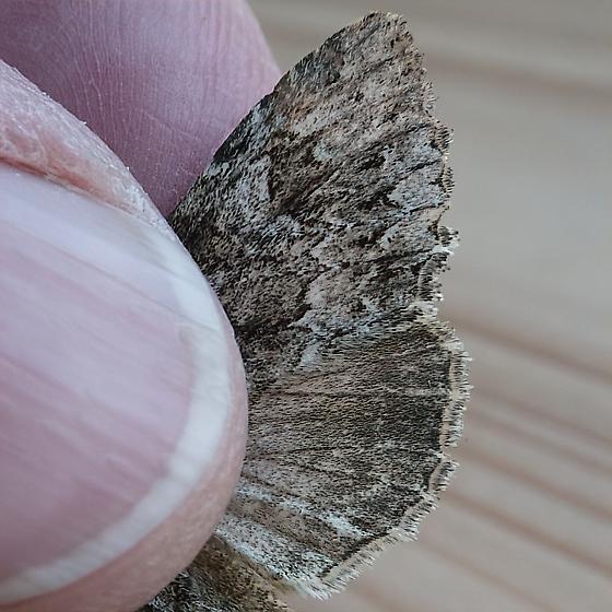 Noctuidae: Platypolia contadina - Platypolia contadina
