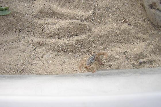 what kind of scorpion is this ? - Paruroctonus boreus