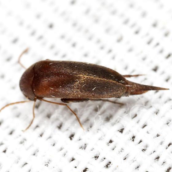 Tumbling Flower Beetle - Glipostenoda ambusta
