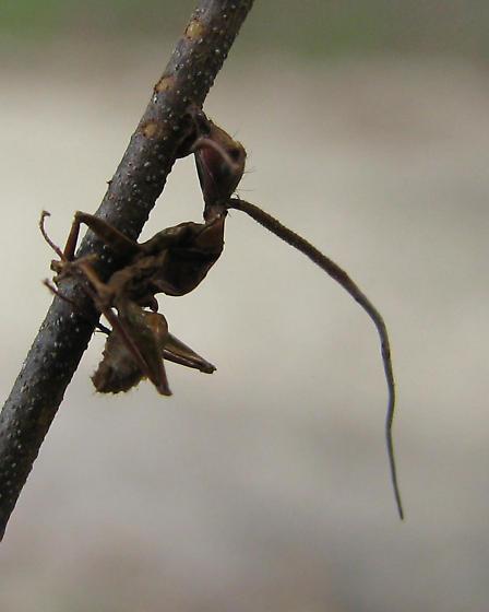 Cordyceps-infected ant. - female