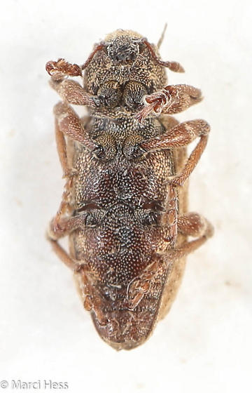 Bagous - Listronotus