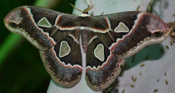 Rothschildia cincta - Rothschildia cinctus - male