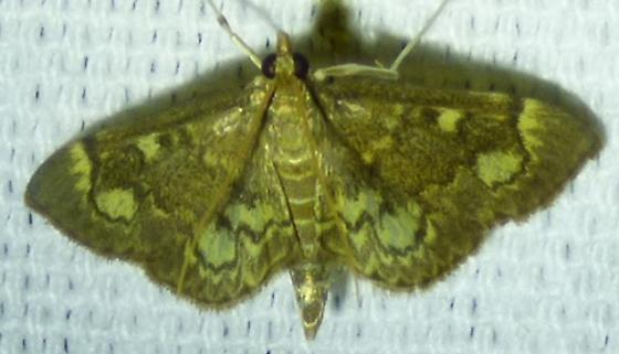 unknown moth - Anania