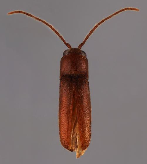 Clicker? - Entomophthalmus rufiolus