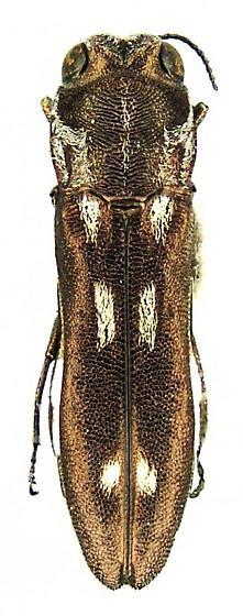 Agrilus impexus Horn - Agrilus paraimpexus