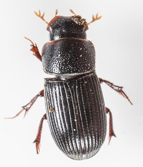 Beetle - Ataenius strigatus