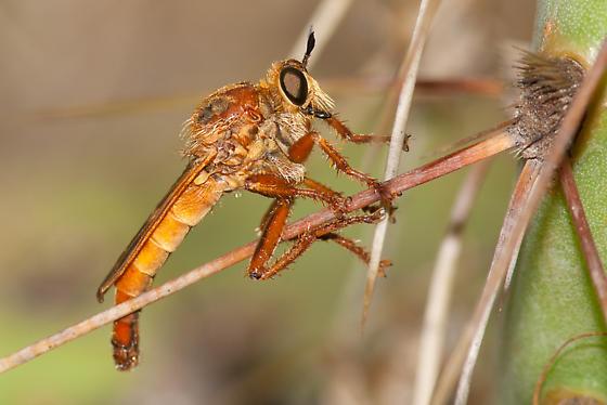 Ospriocerus latipennis