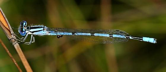 Atlantic Bluet - Enallagma doubledayi - male