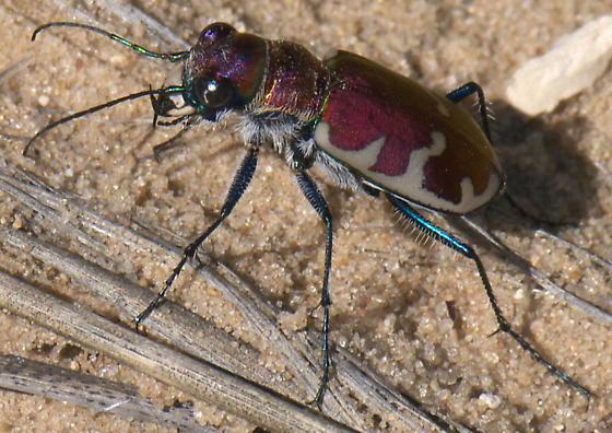 Red Tiger Beetle - Cicindela formosa