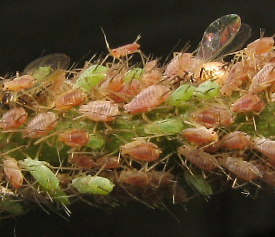 Aphids on rose bush - Macrosiphum - female
