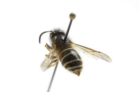 Dolichovespula albida fen nest  - Dolichovespula albida - female