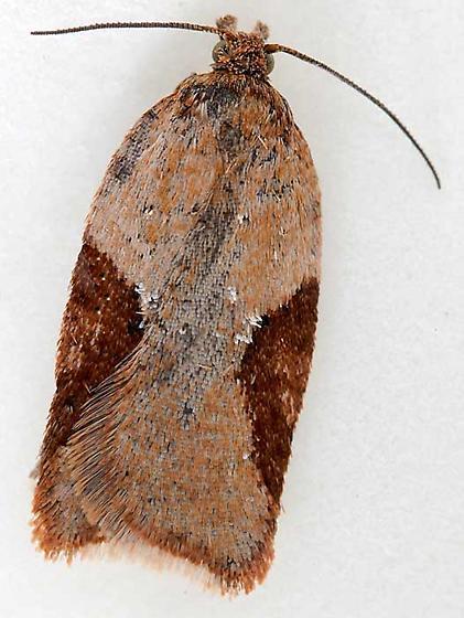 moth - Acleris stadiana - male