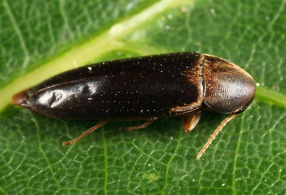 Melandryid - Phloiotrya fusca