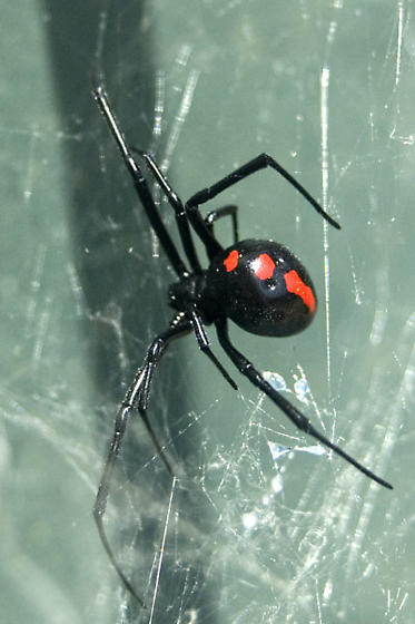 Black Spider with red markings - Latrodectus variolus