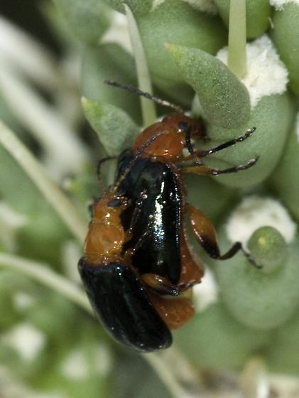 Flea beetle on cholla - Disonycha varicornis - male - female