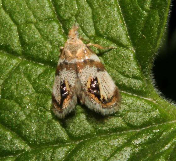 Choreutidae, Metalmark Moth - Prochoreutis extrincicella