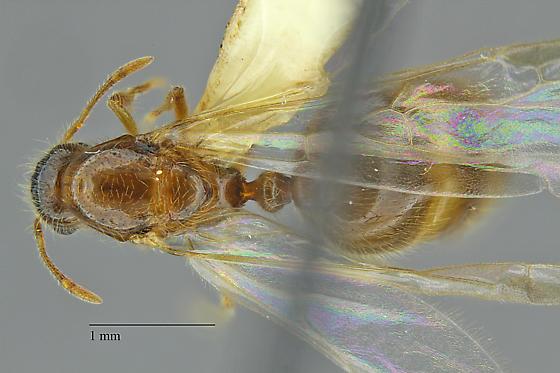 Solenopsis - Solenopsis tennesseensis - female