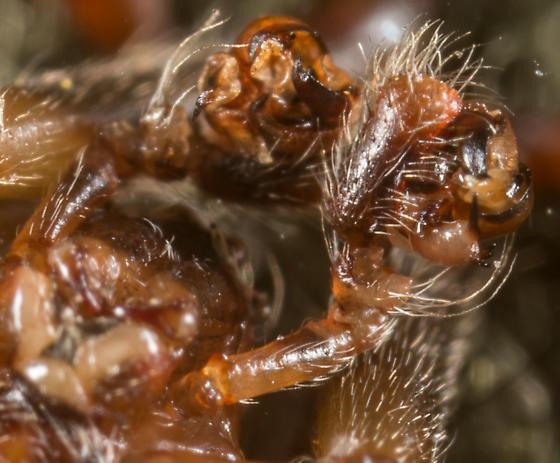 Araneus bispinosus - male