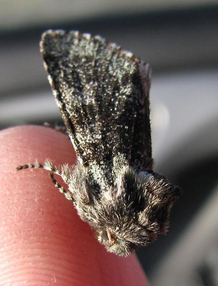 Unknown moth - Feralia major