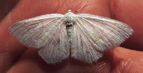 Lesser Maple Spanworm Moth - Hodges#6273 (Speranza pustularia) ??? - Macaria pustularia