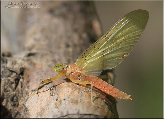 Ephemeroptera sp - Stenacron