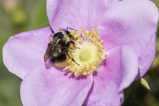 mixed bumblebee on wild rose - Bombus mixtus