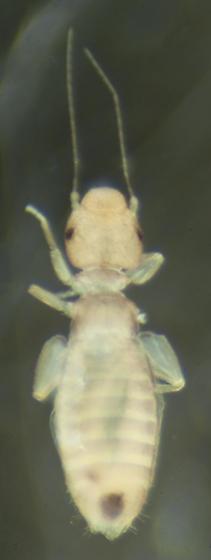 Possibly Liposcelis - Liposcelis bostrychophila