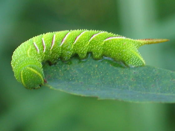 Sphinx moth caterpillar - Sphinx