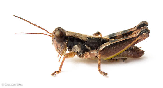 Florida Spur-throat Grasshopper (Melanoplus puer)