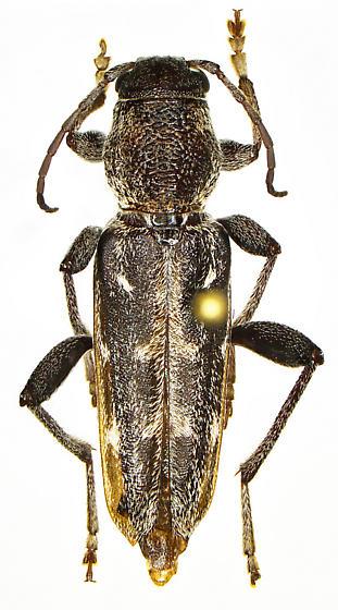 Xylotrechus sagittatus chiricahuae - Xylotrechus sagittatus - female