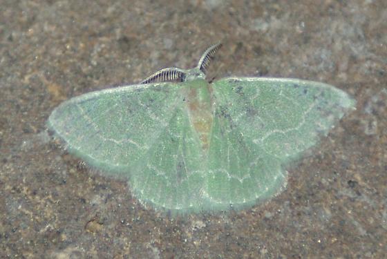 Emerald - Synchlora aerata - male