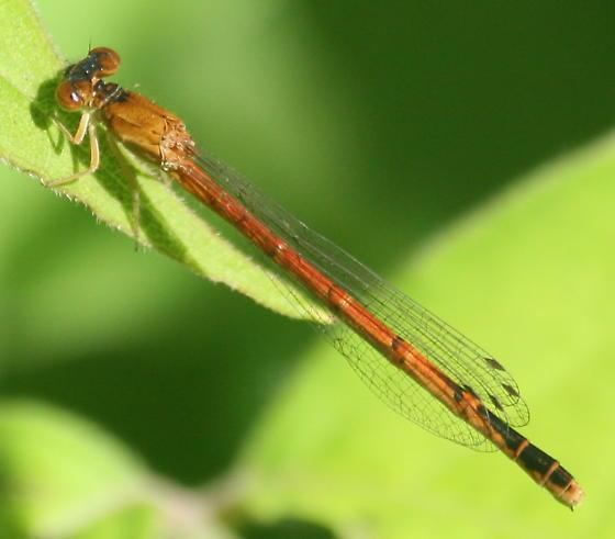 Brown Damselfly - Amphiagrion saucium - female