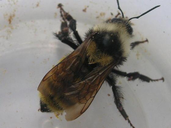 Bombus appositus (Apidae) in Colorado Springs - Bombus appositus - female