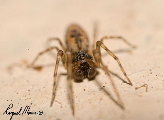 Little spider - Dictyna - male