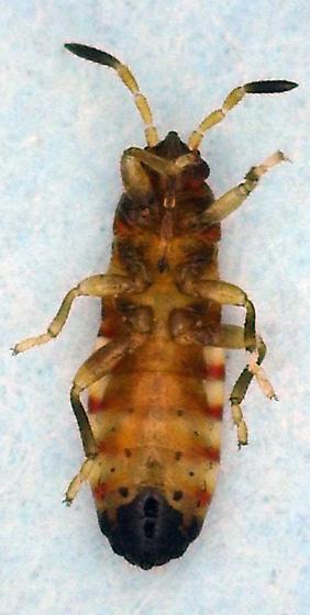 Hemipteran on Panicum anceps - Ischnodemus