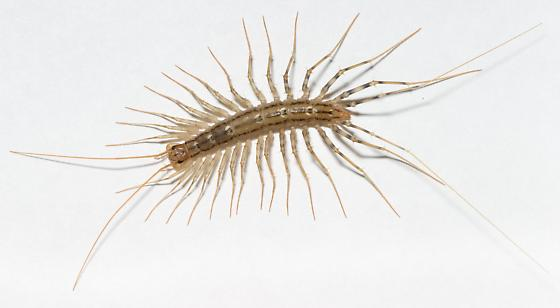 House Centipede - Scutigera coleoptrata